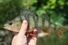 Okounovití (Percidae)