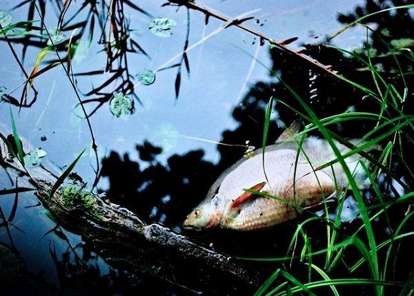 Mezi Poděbrady a Nymburkem uhynuly v Labi tisíce ryb! Vypadá to na otravu