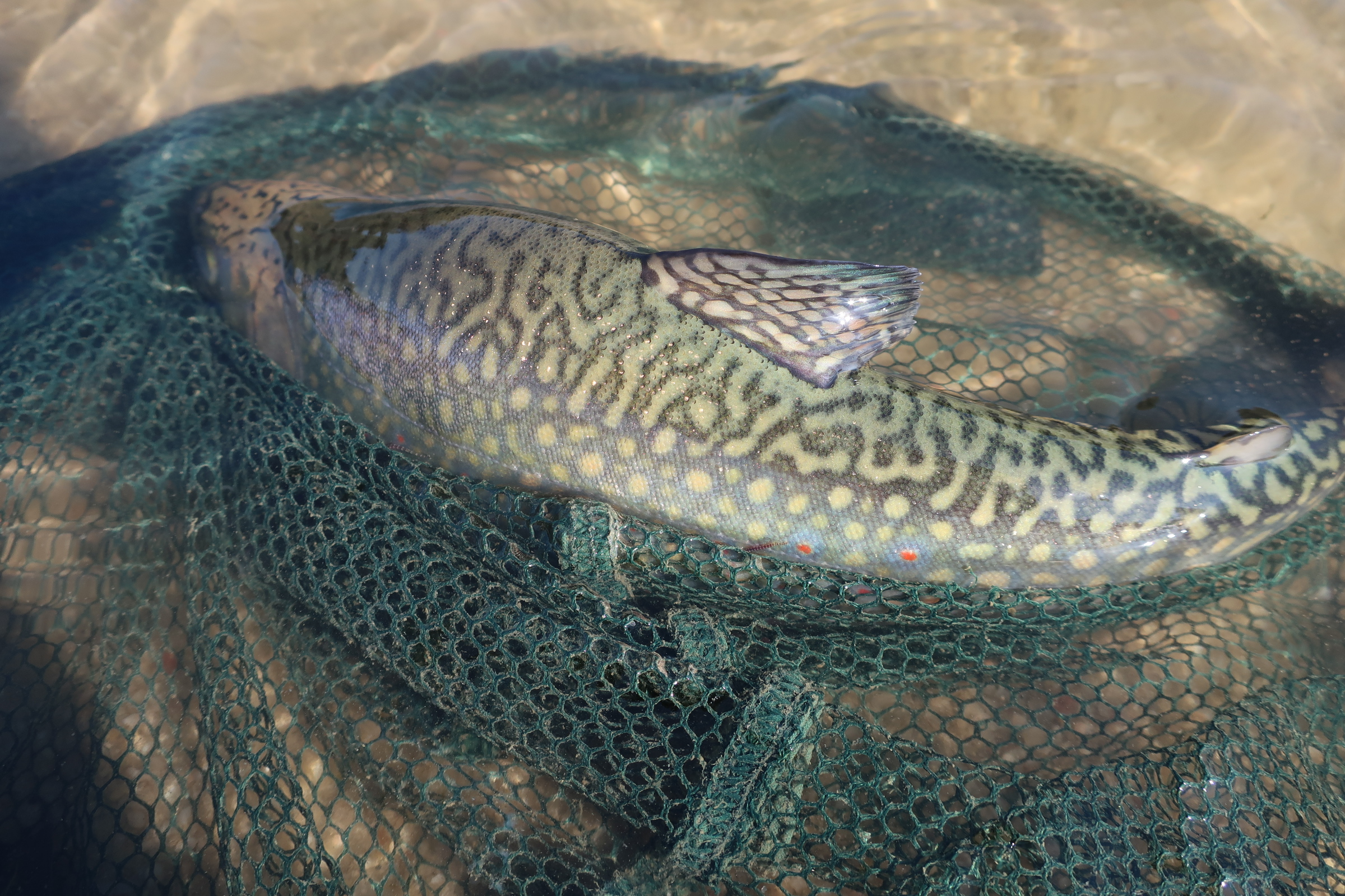 Lososovité ryby u nás do 50 let skončí. Nevydrží ohřívající se klima