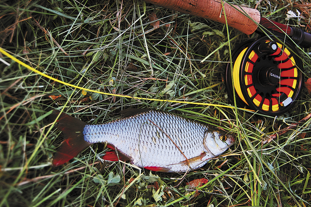 Bílá ryba na muškařský prut