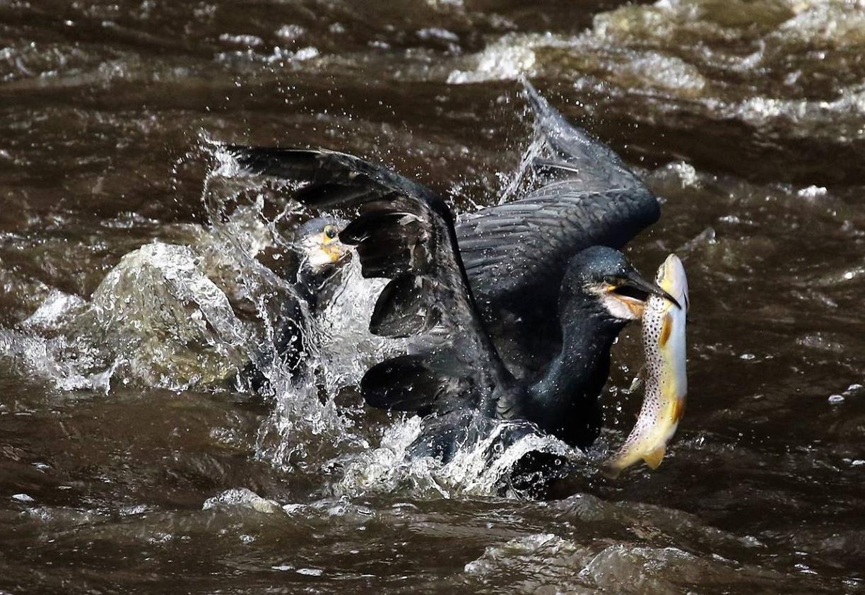 Kormoráni trápí rybáře. Škody způsobují i vydry