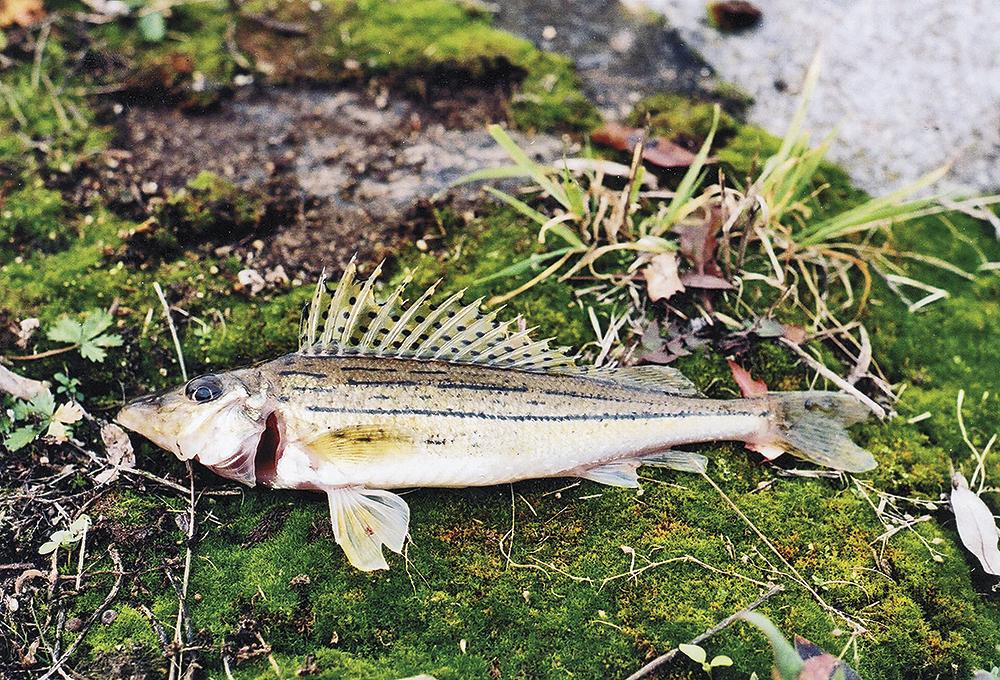 Biologie ryb – plynový měchýř