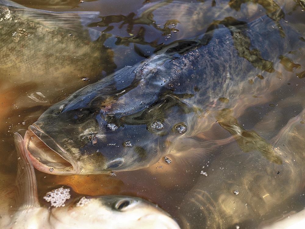 Biologie ryb – dýchací soustava