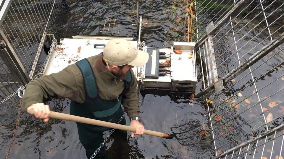 I přes velké sucho se lososi do řeky Kamenice začínají vracet