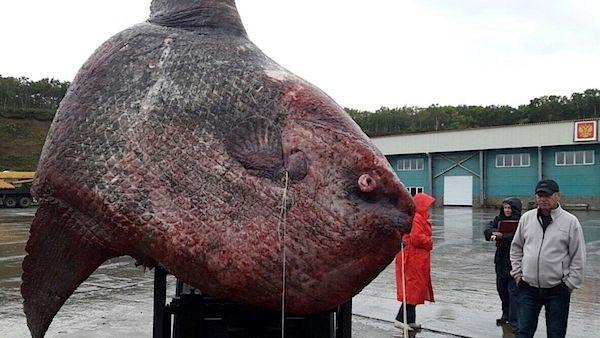Ruští rybáři se den rozhodovali, zda rekordně velkou rybu pustit. Mezitím lekla