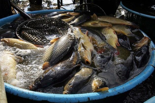 Kapři porazili EET: Vláda udělí výjimku z EET prodeji vánočních ryb