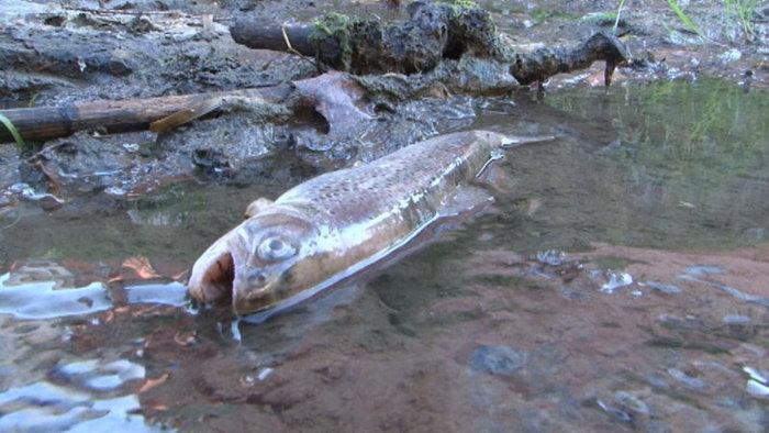 Rybám v horku chybí kyslík, musí se i předčasně lovit