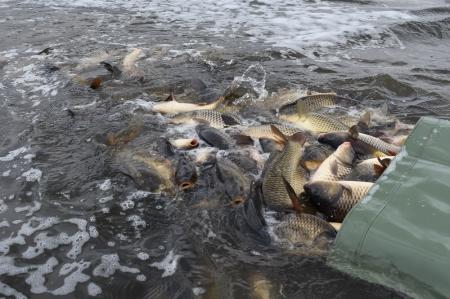 Mimopstruhové revíry Severočeského územního svazu se plní rybami