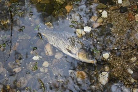 Zvýšené jarní úhyny ryb na rybářských revírech