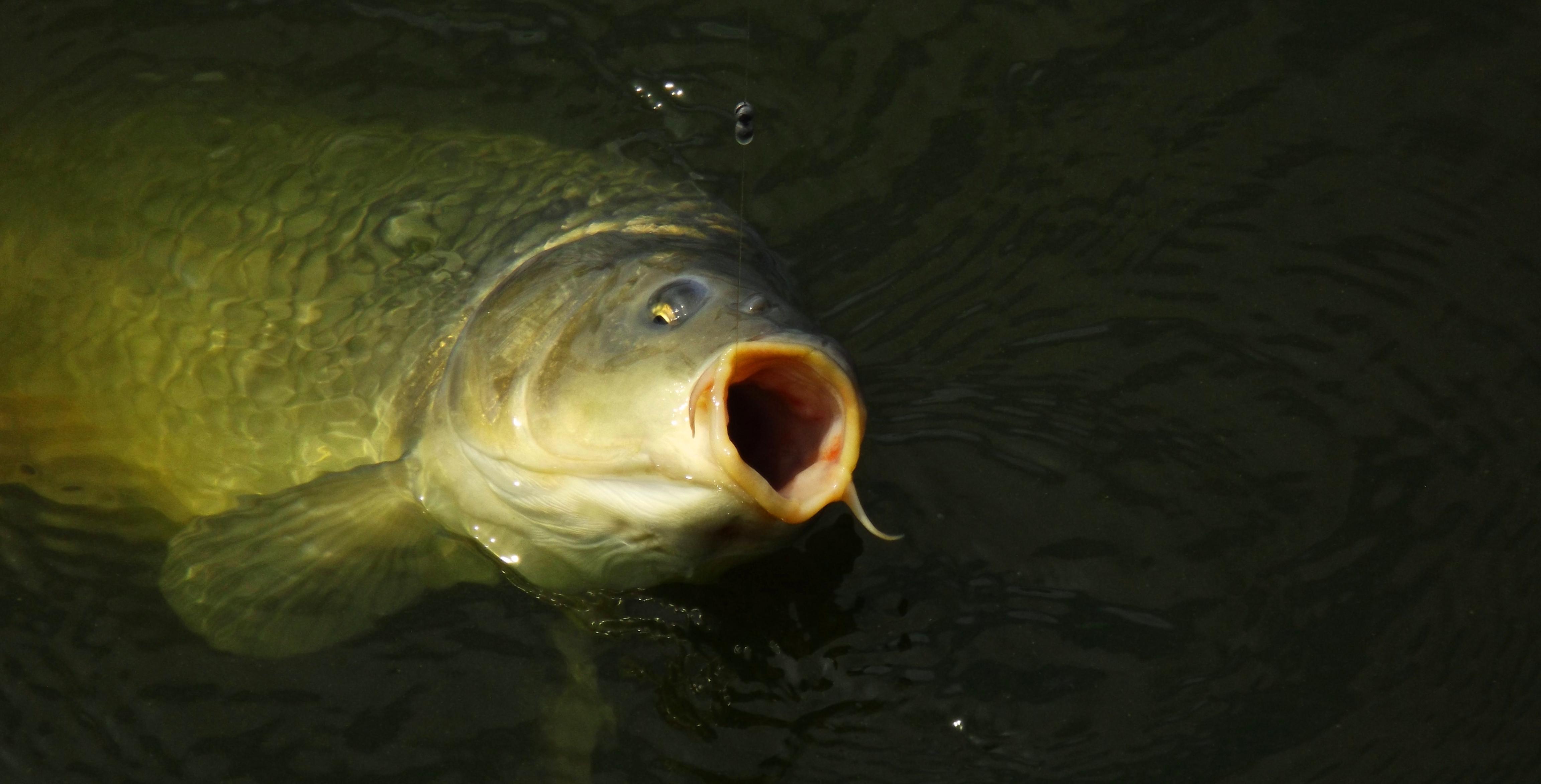 TIPY A TRIKY: Perfektní rybí moučky za pár korun, které přilákají i ty největší kapry!