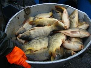 AKTUÁLNĚ: Rybáři vloňském roce odnesli přes 2000 000 kilo kaprů! Okoun je na historickém minimu