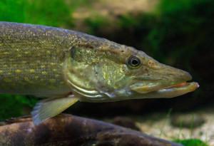 VIDEO: Lov trofejních štik na rybičku. Tajné tipy a triky, které fungují i na ty největší dravce!