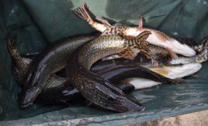 NASAZOVÁNÍ: Rybáři do svazovek nasadili přes 17000 kilo kaprů! Nasazovali se i candáti a štiky!