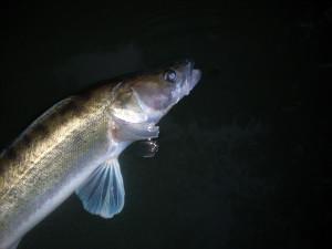 REKORDNÍ CANDÁT! Rybář ulovil candáta o délce 102 centimetrů a váze 11 kilo! Souboj s rybou natočil!