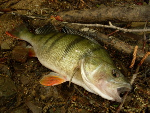 FANTASTICKÉ VIDEO: Okouni útočí na hejno drobných rybek! Tohle musíte vidět!