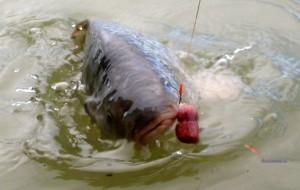 TIPY A TRIKY: Neviditelný návazec na kapry. S tímhle přelstíte i největší a nejzkušenější ryby!