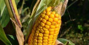 Hrátky s kukuřicí