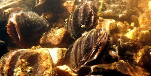 Naše živoucí fosilie perlorodka říční