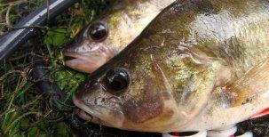 Biologie ryb – oběhová soustava