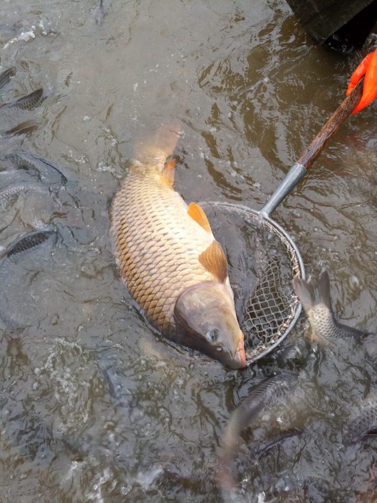Vysazování ryb – 20 týden