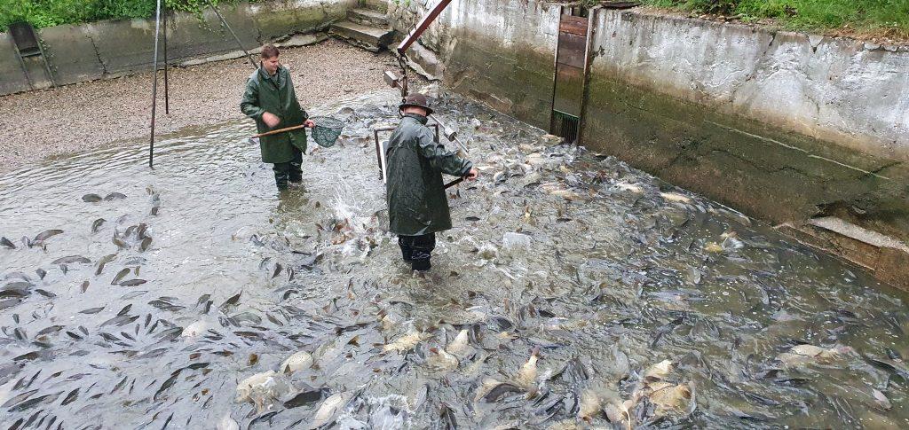Vysazování ryb – 29 týden