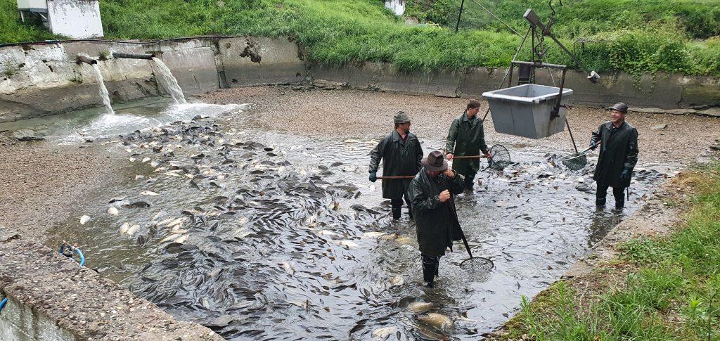 Vysazování ryb – 28 týden