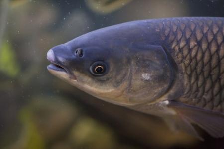 Poslanci schválili novelu týkající se invazních nepůvodních druhů ryb v příznivé podobě