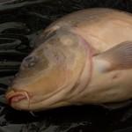 """VIDEO: Rybář Kuna """"drtí"""" obrovské kapry na Labi i vzimě! Tenhle kapr měl přes 90 čísel!"""