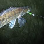 VIDEO: Jak úspěšně chytat dravé ryby na gumové nástrahy?