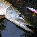 Obrovská štika ze svazovky: Rybář chytil štiku o váze 15 kilo a délce skoro 120 čísel!