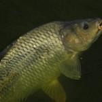 Rybaření slančmítem: Nenápadná nástraha, kterou (nejen) kapři milují! Vyzkoušejte!