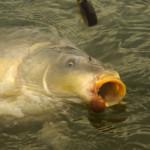 Obrovský kapr: Další ryba o váze 30 kilogramů zčeské vody! Rybář přelstil gigantického šupináče!