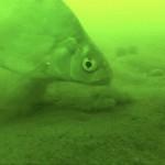 Gigantická štika nebo zuřivý candát: TOP 5 videí pod vodou, které vám vyrazí dech!