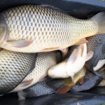 Největší moravský rybník Nesyt se nebude lovit! Letos vněm uhynulo 100 tun ryb za 5 milionů korun