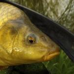 Lov kaprů na feeder ve studené vodě: Vjednoduchosti je síla!