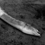 KATASTROFA: Hromadný úhyn úhořů! Ryby pozabíjel nebezpečný parazit!