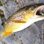 AKTUÁLNĚ: Milovníci pstruhů slaví! Jihočeské pstruhovky budou součástí celosvazového rybolovu!