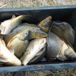 NASAZOVÁNÍ KAPRŮ: Začíná podzimní vysazování kaprů do revírů! Kde se nasazovaly nové ryby?