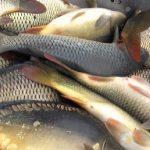 PODZIMNÍ VYSAZOVÁNÍ RYB: Rybáři do revírů vysazují candáty, ale i kapry! Kde se vysazují nové ryby?