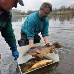 Nasazování trofejních kaprů a amurů: Rybáři vysazovali amury přes 120 čísel a kapry přes 10 kilo