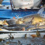 Nudné rybí maso? Ani náhodou! V Českých Budějovicích vyrábí kapří karbenátky, paštiku nebo segedínský guláš z ryb!