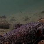 Živé video: Pozorování obrovských pstruhů pod vodou! Jak žijí vládci zuřivých proudů?