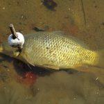 ODPORNÉ: Rybář přibil kapra kovovou tyčí ke dnu! Nechtělo se mu dávat rybu do vezírku