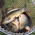 Nasazování ryb do svazových revírů: Rybáři se mohou těšit na metráky nových kaprů!