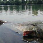 TOP soukromý rybářský revír u Prahy: V pískovně žijí sumci o délce přes 250 centimetrů a váze 100 kilo!