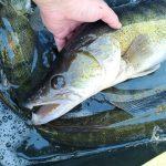 AKTUÁLNĚ: Tisíce nádherných candátů! Rybáři nasazují do svazovek tuny nových ryb!