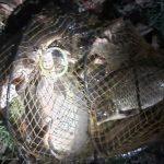 Zátah porybných na Labi: Rybáři měli ve vezírku 8 kaprů! Navíc chytali na zimovišti ryb