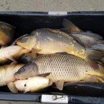 Jarní nasazování pokračuje: Rybáři do svazovek nasadili další tuny kaprů! Kde všude se nasazovalo?