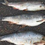 Stovky mrtvých trofejních ostroretek vLabi pod vodní elektrárnou! Ryby se už nestihly vytřít!