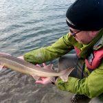 AKTUÁLNĚ: Nasazování jeseterů malých do řeky Moravy pokračuje! V řece jich plavou tisíce
